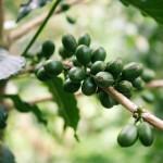 Café verde planta