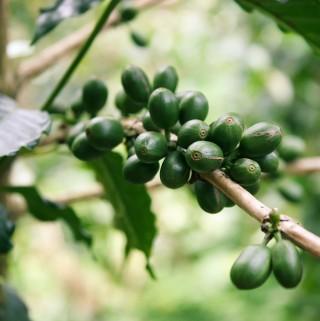 Café Verde, una planta versátil