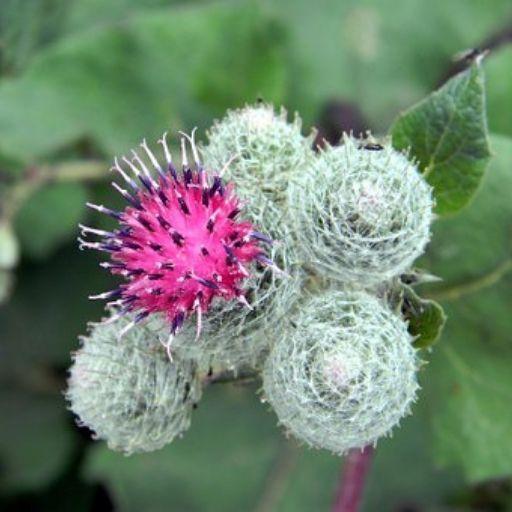 Bardana, la reina de las plantas curativas