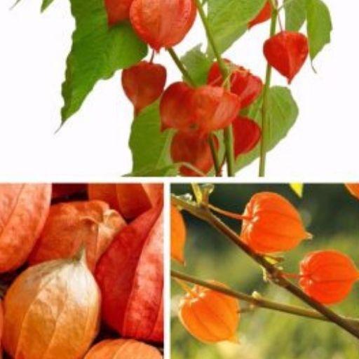 La ashwagandha: una planta curativa de la india para el mundo